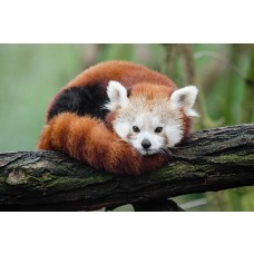 Red Pandas for Two Sensation