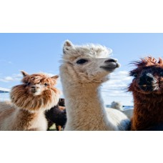 Two Night Camping Experience with Llama Trek